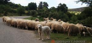 La Lega di Salvini contro le cooperative dei pastori: la sinistra italiana distratta dallo spritz