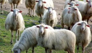 Roma e le pecore sarde