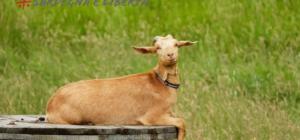 Pastori: Latte a 1 euro no in logu